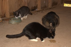 Our barn cats enjoying the second meal of the day