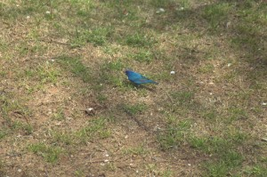 I've not seen an Indigo Bunting before
