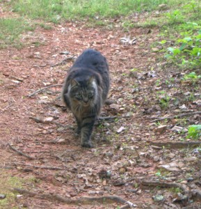 Coonie cat on the way for food