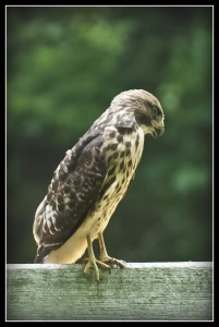 Young hawk finding his way in the world