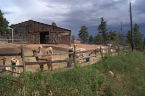 Sallys herd
