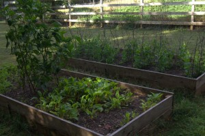 Veg beds - second crop