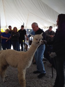 Dr Norm about to show the Heimlich on an Alpaca