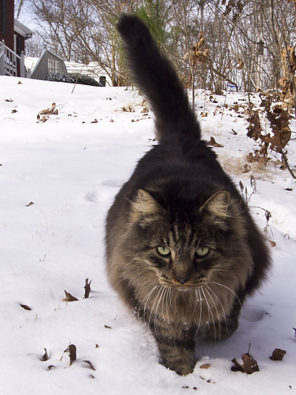"Big Cat looking for ""snow mice"""