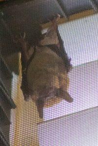 Visiting Bat